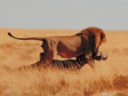 leon con su presa
