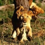 cachorro de leon africano