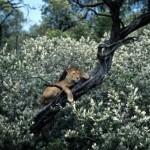 leon trepado en arbol