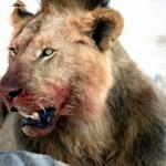 Animalsleon comiendo