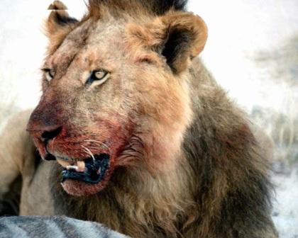 Leones en cautividad leonpedia - Leones apareamiento ...