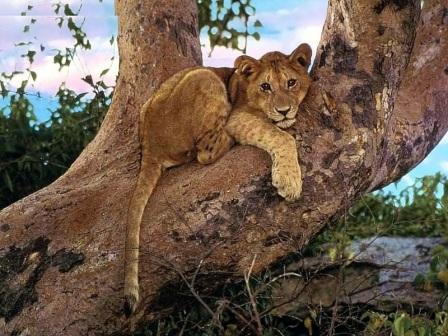 cachorro de leon en arbol