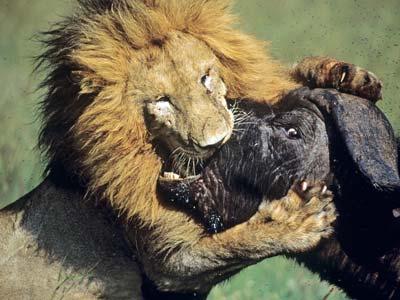 leon macho cazando bufalo