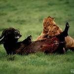 leones derribando asu presa