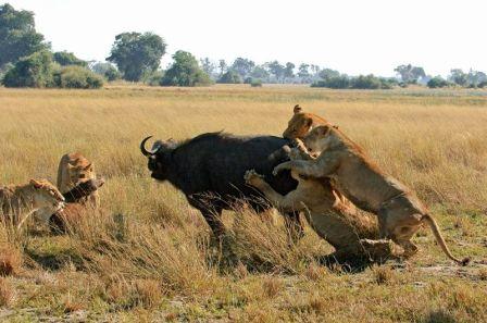 grupo de leones cazando