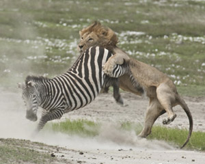 leon cazando cebra